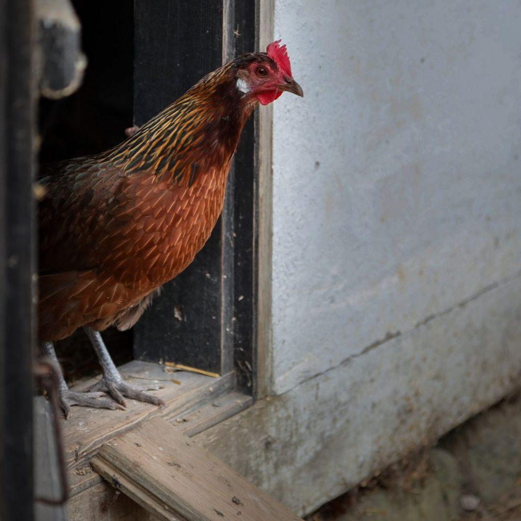 Høne på vej ud af hønsehuset